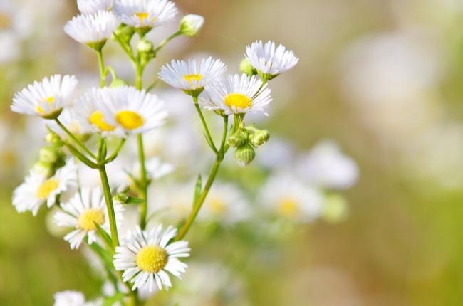 Plantas que ajudam a dormir melhor - Camomila - SEPAC