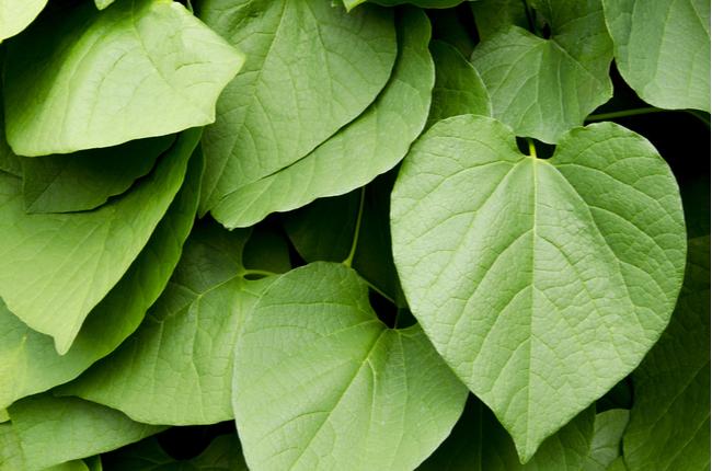 Plantas que ajudam a dormir melhor - KavaKava - SEPAC