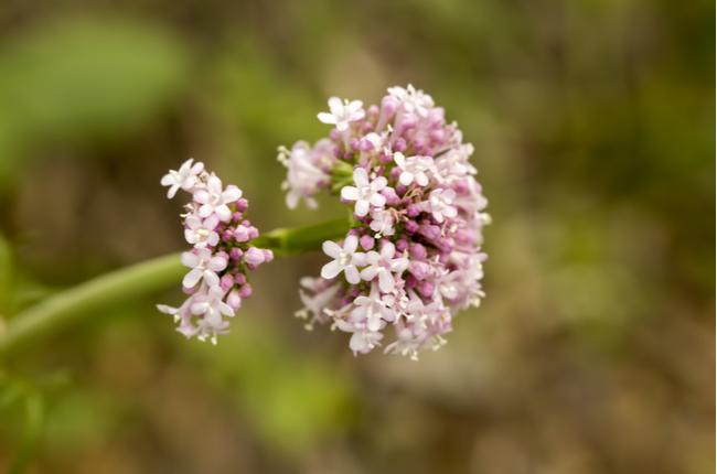 Plantas que ajudam a dormir melhor - Valeriana - SEPAC