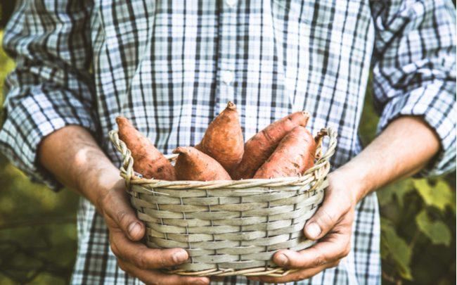 Como cultivar batata-doce no vaso - SEPAC