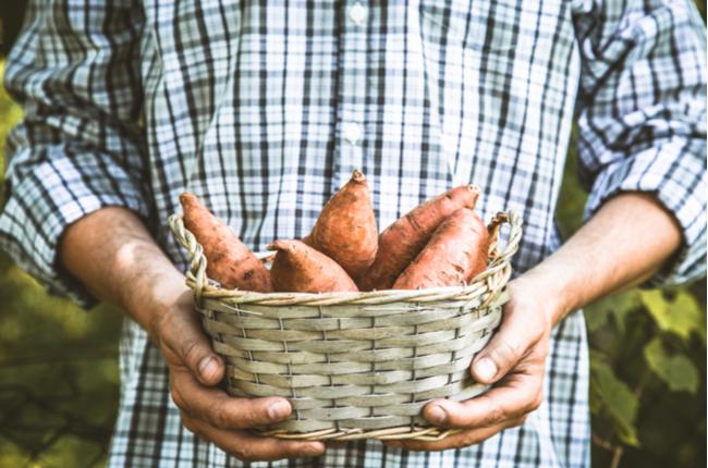 Como cultivar batata-doce no vaso