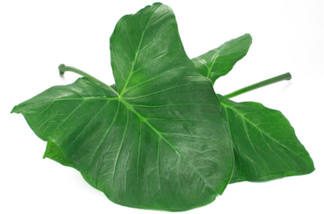 Exotic edible plant leaves  (Xanthosoma sagittifolium) called taioba in Brazil in white background