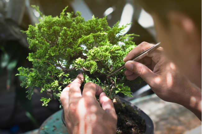 O que são os bonsais e como cultivá-los em casa